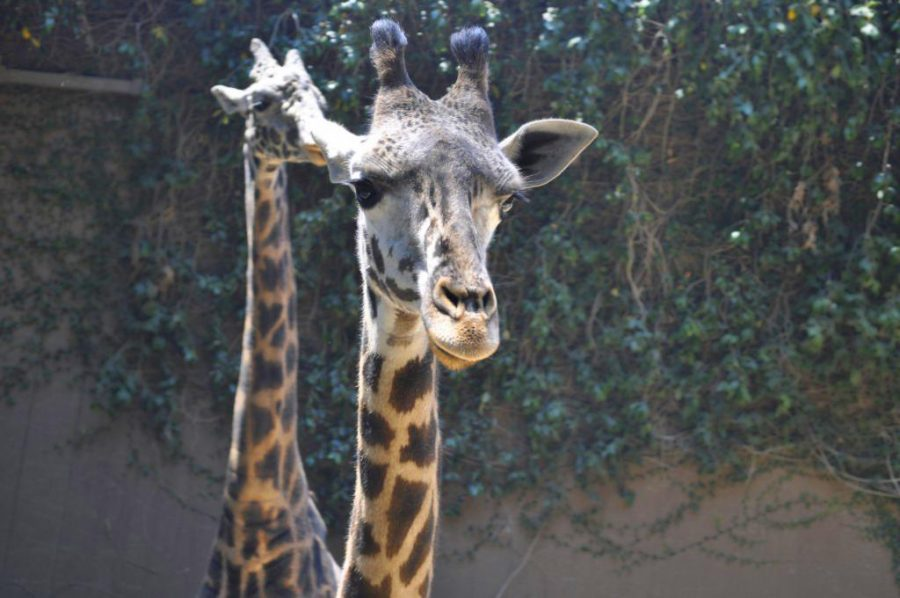 Two+giraffes+welcome+Archer+school+girls+to+their+habitat+with+menacing+glances.+Photographer%3A+Veronica+Richardson+%2715