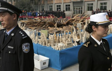 "Chinese officials guard a massive amount of confiscated ivory. Last month, the Chinese government announced that it will officially ban all commerce in ivory by the end of 2017. Image source: <a href=""https://share.america.gov/elephant-ivory-prices-plummet/"">Share America.gov</a>."