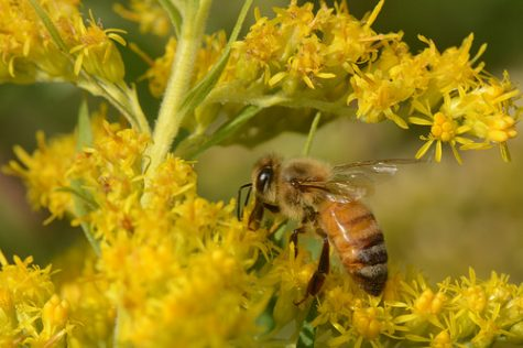 Op-ed: Decline in bee population causes negative impacts