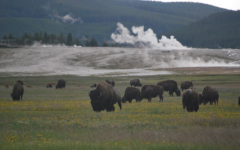 A herd of American Bison at Yellowstone Stone National Park. For thousands of years before Yellowstone became a national park, Native Americans used the region to hunt, fish, gather plants, and quarry obsidian.