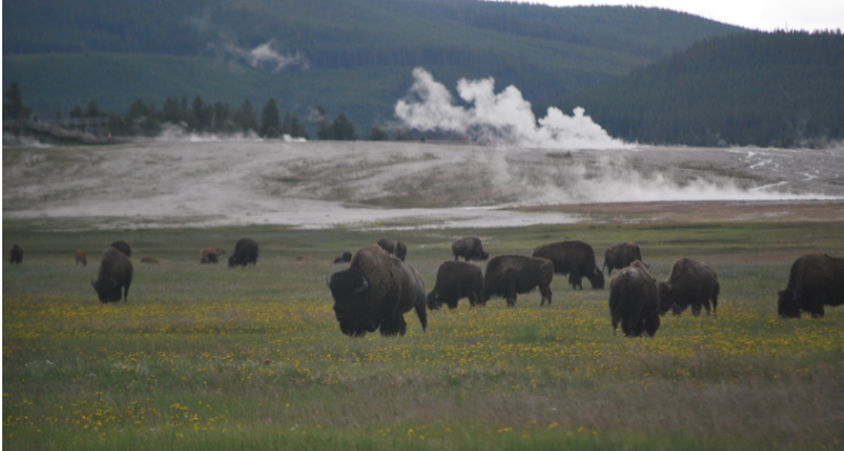 A+herd+of+American+Bison+at+Yellowstone+Stone+National+Park.+For+thousands+of+years+before+Yellowstone+became+a+national+park%2C+Native+Americans+used+the+region+to+hunt%2C+fish%2C+gather+plants%2C+and+quarry+obsidian.+