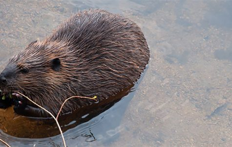 Column: Learn from rodents — leave tree chopping to beavers