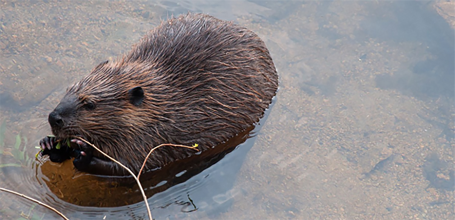 A beaver gnaws on a plant in Lily Lake, located in Rocky Mountain National Park. Beavers live in lakes and rivers; they create their homes and dams using nearby trees.