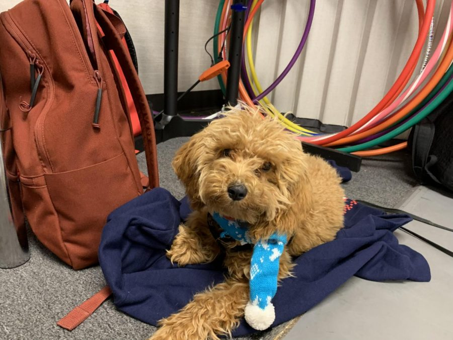 Reed Farley's fluffy dog Emmett can often be seen around campus with his stylish accessories (such as this winter scarf). Here, Emmett sits in on a dance class.