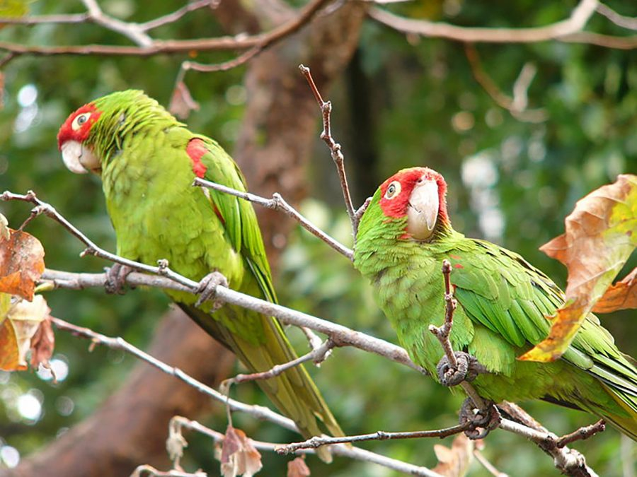 Red-masked+parakeets+perched+on+a+branch.+The+wild+parrots+in+Los+Angeles+survive+by+eating+fruits+and+seeds.