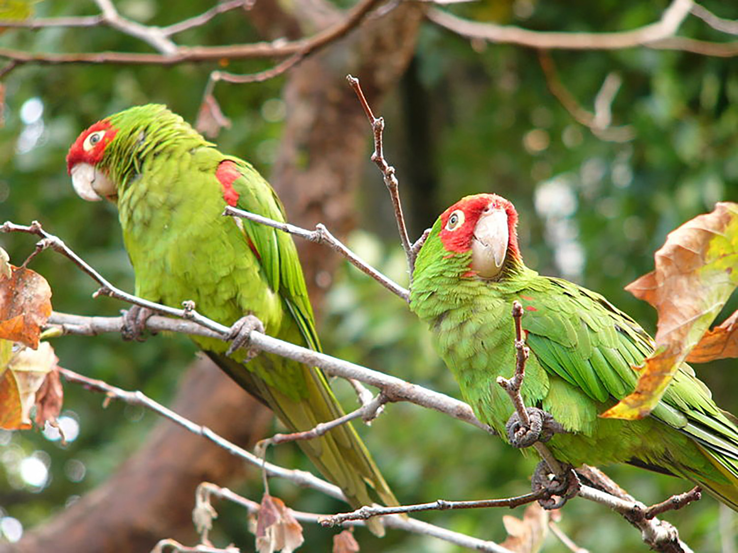 Red-masked parakeets perched on a branch. The wild parrots in Los Angeles survive by eating fruits and seeds.