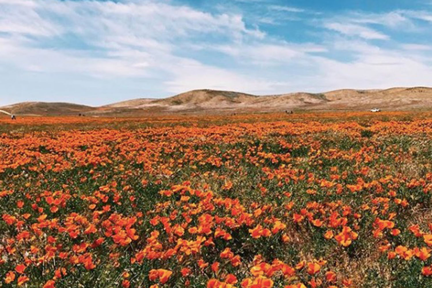 A snapshot of the vibrant California super bloom in Antelope Valley. The flowers are scattered across various valleys in California.