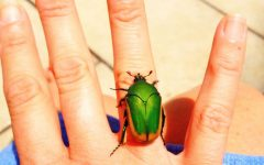 Column: Figeater beetles cause chaos at Archer