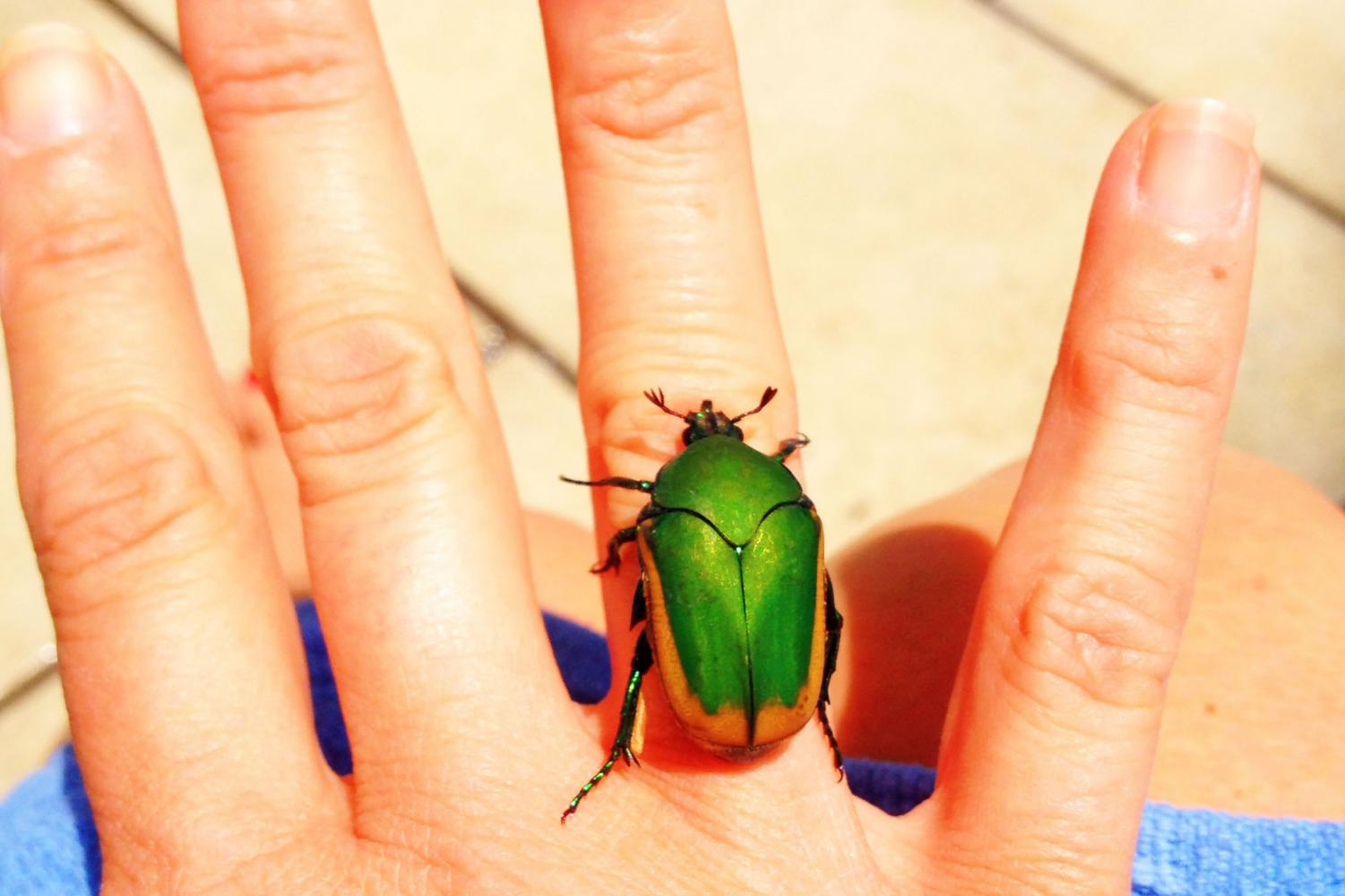 A Figeater beetle lands on a hand in eighth grader Remi Cannon's backyard. This Figeater was found in her backyard. While many people find them scary, the Figeater beetles pose no harm to humans. Photo illustration by Nicole Cannon.