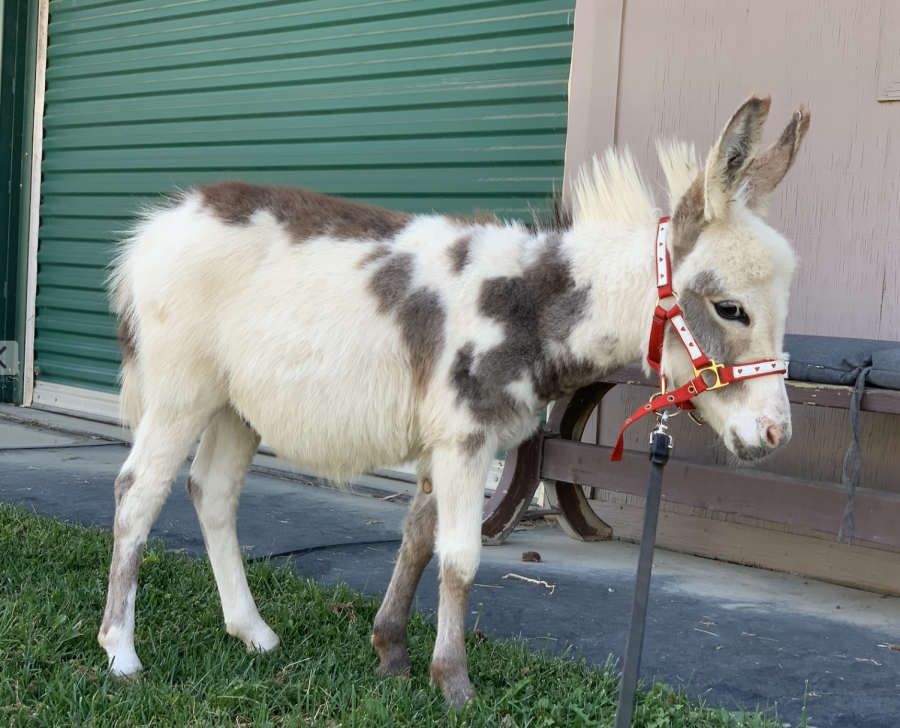 Archie, a mini-donkey, lives at the Los Angeles Equestrian Center nearby Griffith Park. Associate Head of School Karen Pavliscak rescued this miniature male baby donkey from Oklahoma.